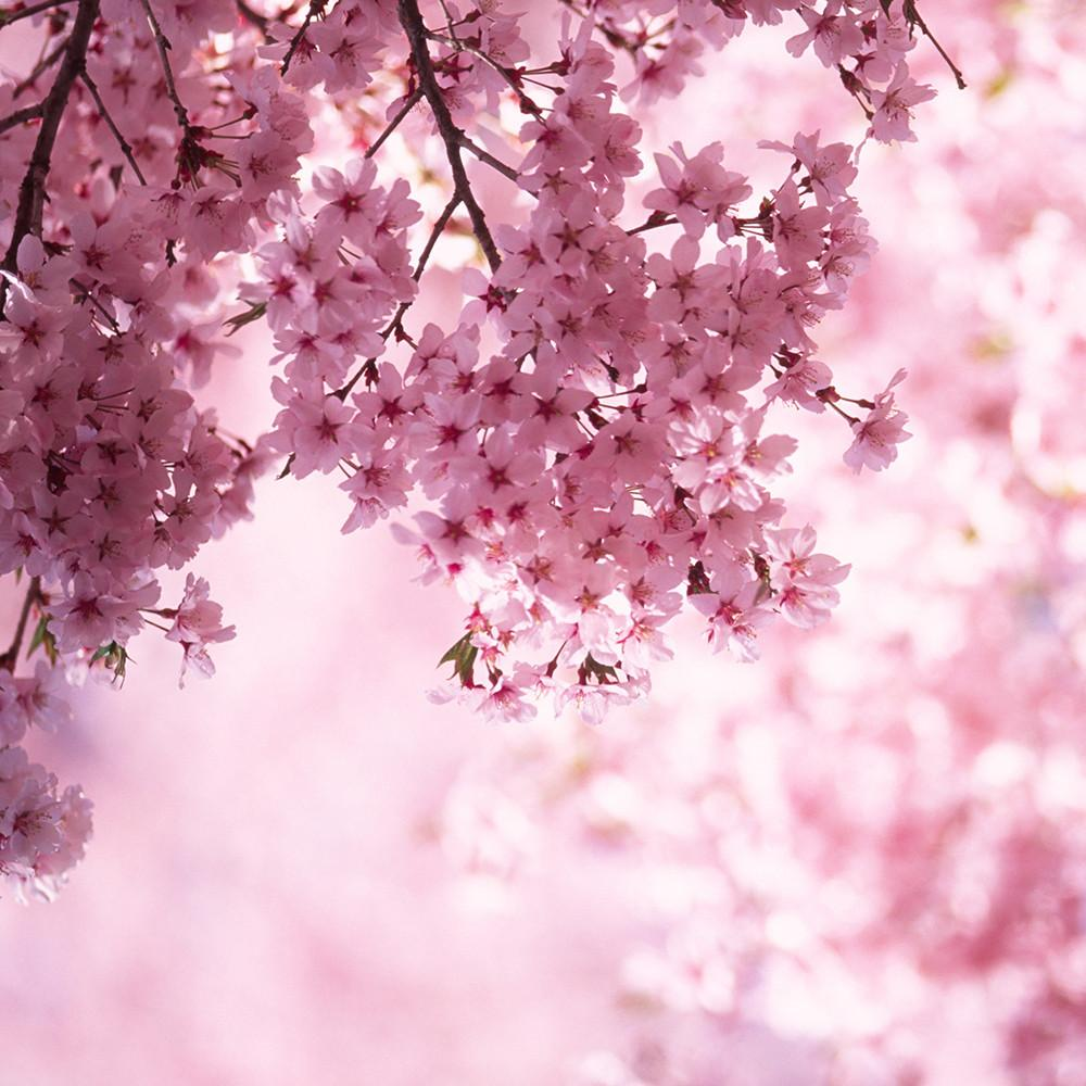 village-candle-cherry-blossom