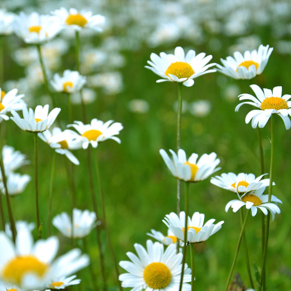 village-candle-dancing-daisies