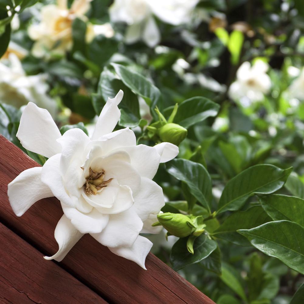 village-candle-gardenia